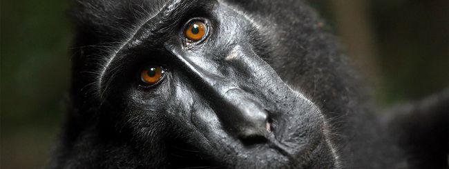 Il selfie del macaco: si va verso un accordo