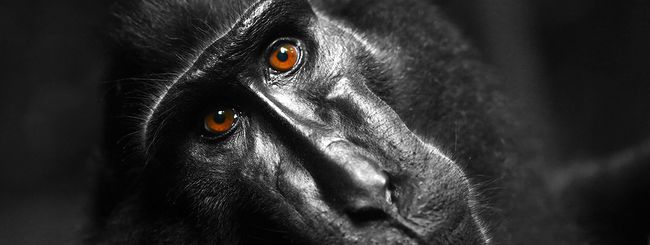 Selfie del macaco: trovato l'accordo